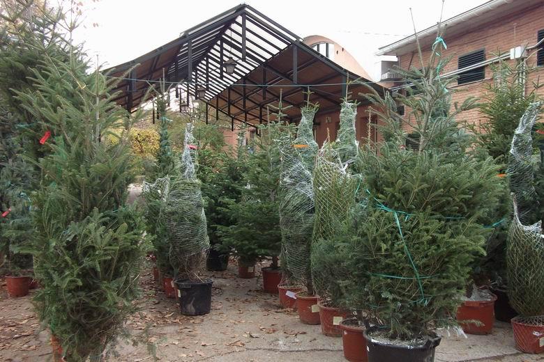 Torrejón recogerá los árboles navideños de los vecinos para replantarlos en las zonas verdes de la ciudad