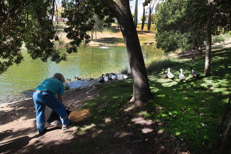 Alcobendas administra un antibiótico preventivo a los patos de los parques frente al botulismo aviar