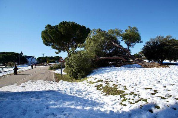 las rozas daños arbolado nieve